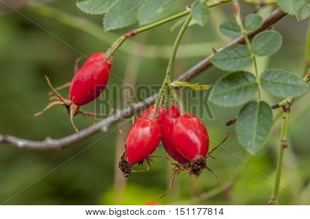 Close up of rose hips in north Idaho.