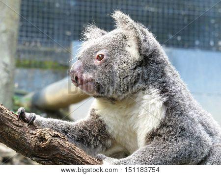 Australian koala marsupial climbing a tree branch
