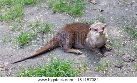 Otter Is Playing In The Grass