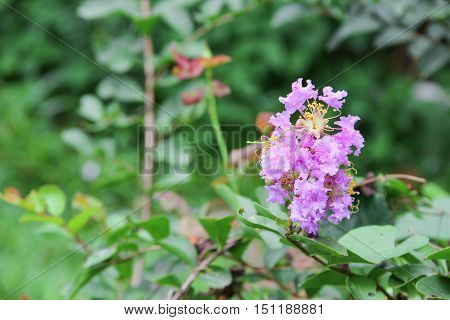 Pink crape myrtle Lagerstroemia speciosa or jarul flower Select focus with shallow depth of field