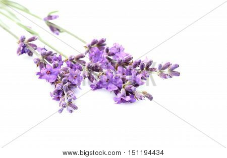 Lavender flowers isolated on white background close-up.