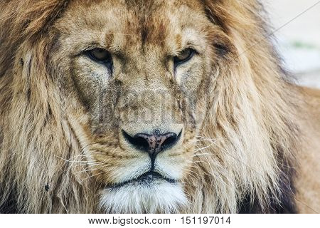Lion's head. King of animals. Image of adult lion