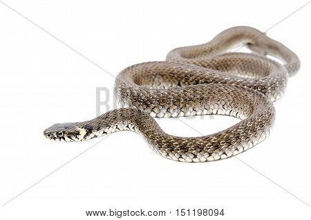 Creeping snake lying isolated on white background