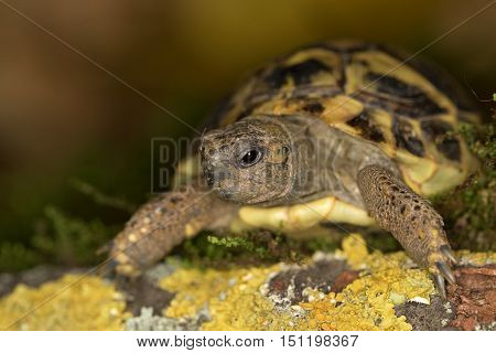 Hermann's tortoise endangered european reptile species in nature