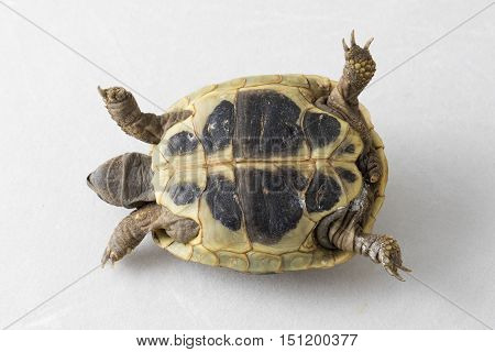 Helpless Herman's turtle isolated on white on back