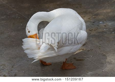 photo of a white goose preening it's feathers