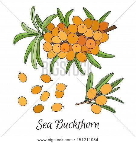 Common sea buckthorn Hippophae rhamnoides . branch of sea-buckthorn berries. Orange berry illustration. Sea buckthorn branch isolated on the white.