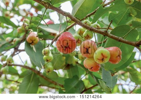 Rose apples on tree in orchard Thailand