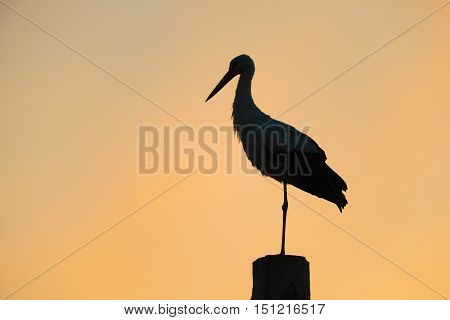 Silhouette of a  white stork (Ciconia ciconia)