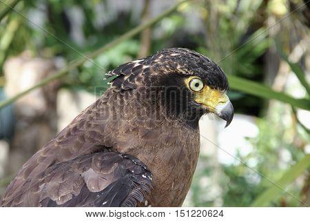 Falcon Peregrine or golden eagle Closeup .