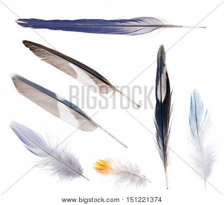group of blue parrot feathers isolated on white background