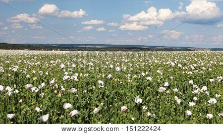 field of flowering opium poppy papaver somniferum