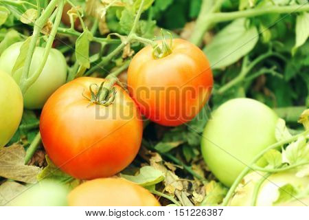 Natural tomatoes growing on a branch in garden