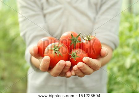 Female hands with freshly harvested tomatoes