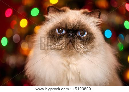 Closeup of a cute persian colourpoint cat in front of a Christmas tree with colourful lights bokeh