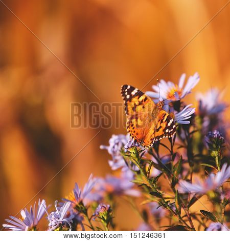 Beautiful painted lady butterfly on pink vibrant wild aster flowers.