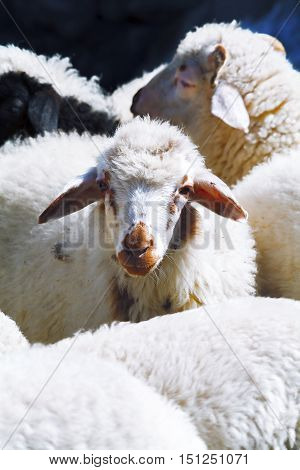 Young wool sheep with a red nose in the herd. looking into the camera lens