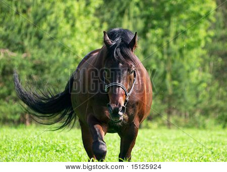 walking bay horse in meadow outdoor sunny day poster