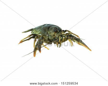 Common lobster isolated on a white studio background