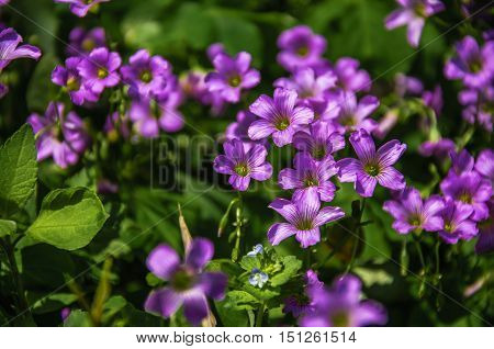 The blossoming Oxalis corniculata flowers closeup in summer