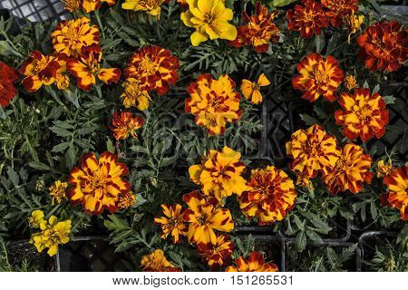 Marigold flowers in the market is waiting for customers.