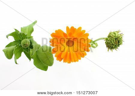 Calendula officinalis flower marigold seeds and bud. Isolated on white background. Shows the development of flowers - bud bloom seeds.