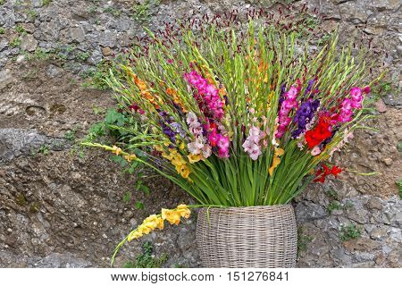 Colorful Gladiola flowers in pink purple yellow red white in basket against stone wall