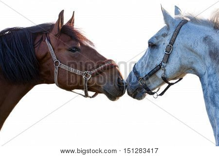 two horses on a white background closeup