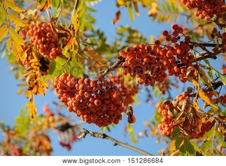 Bunches of rowan in the autumn. Red Rowan in the autumn tree