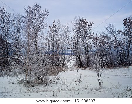 Winter landscape Urals. Branches of trees have become covered with hoarfrost. The dry grass is beaten out from a snowdrift. On a background there is big snow field. The wood is visible in the distance. Cloudy. December