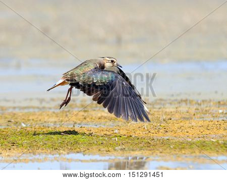 Flying Northern Lapwing (Vanellus vanellus) at Manych lake. Kalmykia Russia