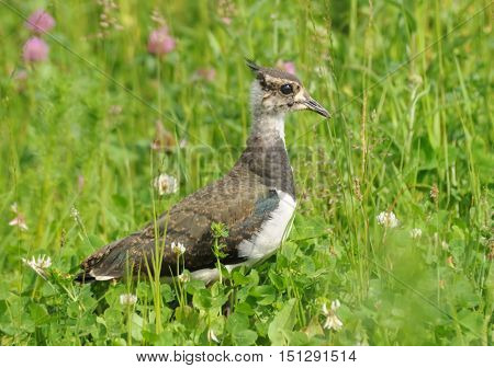 Juvenile Northern Lapwing (Vanellus vanellus) at summer meadow. Moscow region Russia