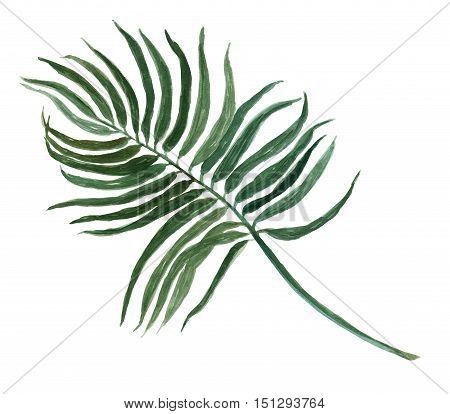 tropical Areca palm leaf plant botanic watercolor painting on white background