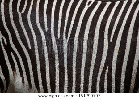 Grevy's zebra (Equus grevyi), also known as the imperial zebra. Skin texture.