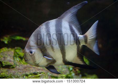 Atlantic spadefish (Chaetodipterus faber). Marine fish.