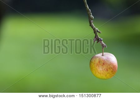 One single red and yellow apple hanging on the branch of a tree in a green orchard