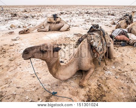 Dromedary camels used to transport amole-salt slabs across the desert in the Danakil Depression in Afar region Ethiopia.