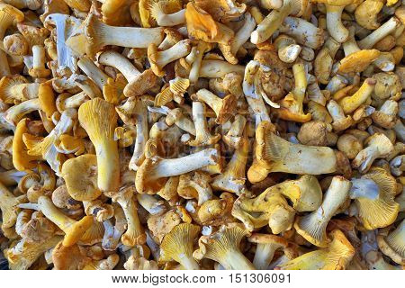 Yellow chanterelle mushrooms as raw food background.