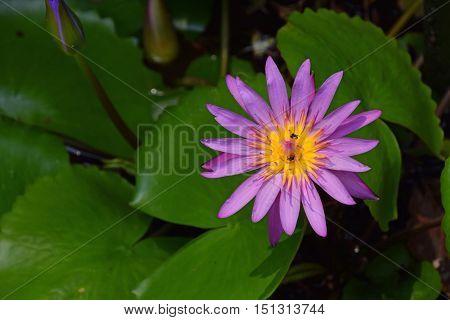 Nymphaea Caerulea, Blue Lotus Flower
