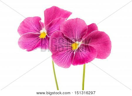 heartsease colorful, elegance flower on white background