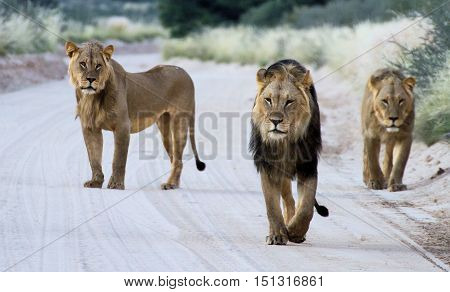 Three male lions walking down a road with the younger one staring at the one walking in front as if he wants to lead