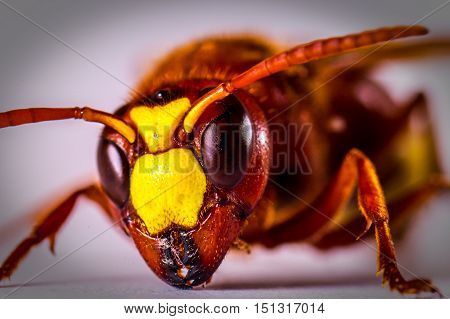 Macro shot of hornet on white background