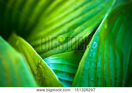 Close up of hosta green leaves with dew drops