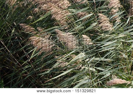 Common reed (Phragmites australis) as background or texture.