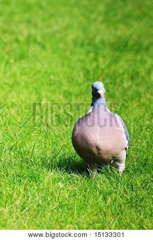 Pigeon On The Green