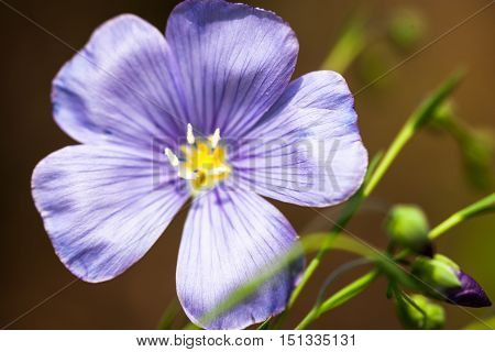 Blue flax flower (Linum) in spring. Close up.