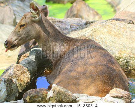 Eld's deer doe cooling in stone pool of water in zoo pasture near Songkhla, Thailand