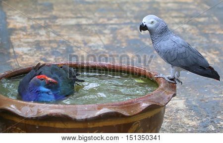 Black-backed Swamphen bathing and Congo African Grey Parrot drinking in the same ceramic bowl, aviary near Songkhla, Thailand