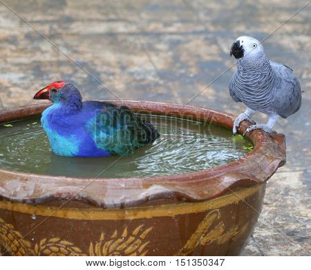 tame Black-backed Swamphen bathing and Congo African Grey Parrot drinking in the same brown ceramic bowl, near Songkhla, Thailand