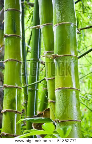 Lush exotic fresh green bamboo jungle background